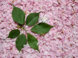 Burst of Green Leaves on a Pink Carpet of Japanese Cherry Blossoms