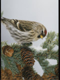 Redpoll Finch Perched on a Snow-Dappled Fir Branch with Cones