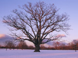 Lone Oak Tree in Delaware Park
