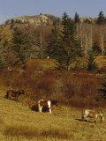 Wild Horses  Fir and Ash Trees on the Appalachian Trail
