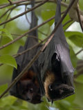 Pair of Fruit Bats Roosting in a Tree