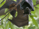Fruit Bats Roosting in a Tree