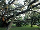 Live Oak Trees Draped with Spanish Moss