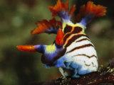Colorful Nudibranch, Nembrotha Species Papier Photo par Tim Laman
