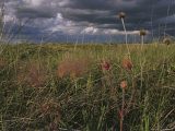 Field with Blooming Prairie Smoke Flowers