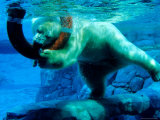 Polar Bear Underwater at Melbourne Zoo