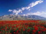 Field of Flowers  Around Lake Van
