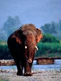 Large Tusked Elephant Walking