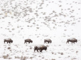 Bison in a Snow Storm Papier Photo par Mark Newman