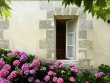 Hydrangeas Growing Outside a Window