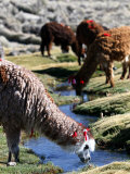 Grazing Alpacas