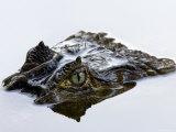 Crocodile Peering Above Surface of Water