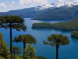 Araucaria Trees Above Lago Conguillio