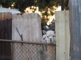 Alpacas Looking Through a Gap in a Backyard Fence, Williamstown Papier Photo par Orien Harvey