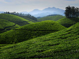 Tea Plantations Covering the Rolling Hills