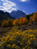 Rabbit Brush and Aspen Stands in Autumn  June Lake Loop  Eastern Sierra Nevada