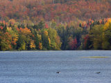 Loons on the Androscoggin River Surrounded by Autumn Forests  New Hampshire