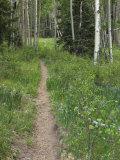 Trail Through Aspen Forest in the Pecos Wilderness  Sangre De Cristo Mountains  New Mexico