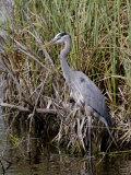 Great Blue Heron  Everglades National Park  Florida