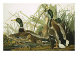 Mallard Duck  Plate CCXXI  Aquatint with Engraving and Hand-Colouring  on J Whatman  1831