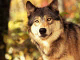 Close Up of Gray Wolf in Nature