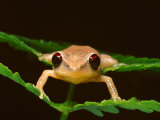 Close Up of a Coqui Singing Frog on Leaves in the Caribbean