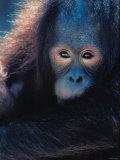 Close Up of Face of Orangutan