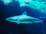 Underwater Picture of a Swimming Caribbean Reef Shark
