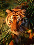 Close Up of Bengal Tiger in the Wild