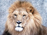 Close Up of African Lion in the Wild