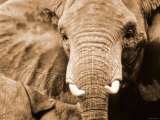 Close Up of Wrinkled Head of African Elephant
