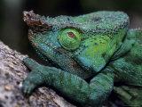 Chameleons in the Analamazaotra National Park  Madagascar
