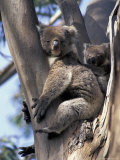 Mother and Baby Koala on Blue Gum  Kangaroo Island  Australia