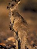 Red Kangaroos Joey  New South Wales  Australia