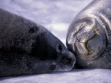 Weddell Fur Seal Cow and Pup  Antarctica