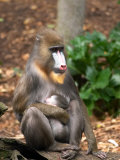 Mandrill Mother and Baby  Australia