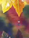 Vine Maple Leaf  USA