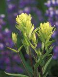 Sulfur Paintbrush  Pawnee National Grassland  Colorado  USA