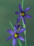 Blue Eyed Grass  Clarkston  Michigan  USA