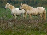 White Wild Horses  Camargue  France