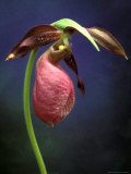 Pink Lady Slipper  St Clair Nature Preserve  Michigan  USA
