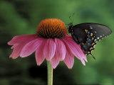 Spicebush Swallowtail on Mullin  Rochester  Michigan  USA