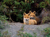 Den of Red Foxes  Kamchatka  Russia