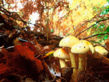 Mushrooms Growing Among Autumn Leaves  Jasmund National Park  Island of Ruegen  Germany