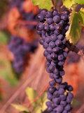 Vineyard  Herault  Languedoc  France