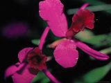 Magenta Orchid  Fiji