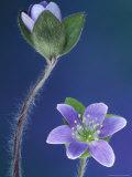Round-Lobed Hepatica Bud and Fleur  Lapeer  Michigan  USA