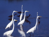Great Egrets Fishing with Tricolored Herons in the Background