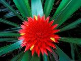 Flower of Bromeliad  Wild Pineapple  Barro Colorado Island  Panama