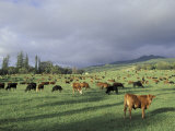 Cows Grazing in Lush Fields  Hana  Maui  Hawaii  USA